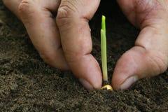 Planting Corn seedling Royalty Free Stock Photos