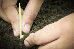 Planting corn seedling by hand Royalty Free Stock Images
