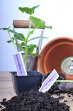 Planting cucumber Royalty Free Stock Image