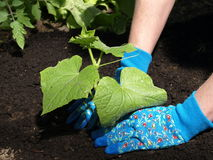 Planting cucumber Royalty Free Stock Photos