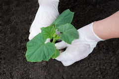 Planting cucumber seedlings with your hands. In the earth Royalty Free Stock Photo