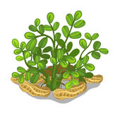 Planting and cultivation of cashew. Vector Stock Image