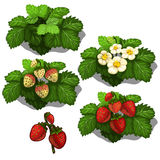 Planting and cultivation of strawberry. Vector Stock Photos