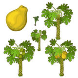Planting and cultivation of yellow pear. Vector Stock Images