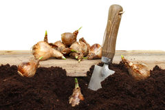 Planting daffodil bulbs Stock Photo