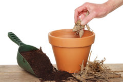 Planting a dahlia Stock Image