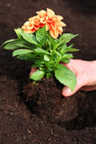 Planting dahlia seedling. Planting young dahlia seedling in soil Stock Photo