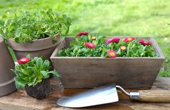 Planting daisies Stock Images