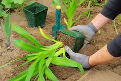 Planting a daylily. In the garden Royalty Free Stock Photo