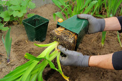 Planting a daylily. Gardening in spring Royalty Free Stock Image