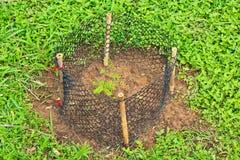 Planting Delonix sapling Stock Photography