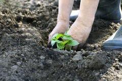 Planting eggplants in the garden. stock image