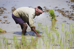 Planting. Farmers working planting rice in the paddy field. Stock Photo