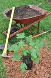 Planting fig tree Stock Photos