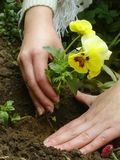 Planting a flower. Woman planting a flower in a garden stock photos