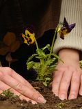 Planting a flower. Woman planting a flower in a garden Royalty Free Stock Photos