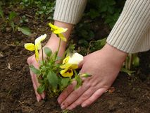 Planting a flower. Woman planting a flower in a garden royalty free stock photography
