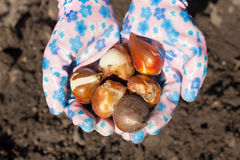 Planting flower bulb Royalty Free Stock Images