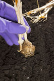 Planting flower bulbs Stock Photos
