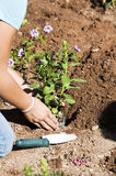 Planting a flower garden Royalty Free Stock Images