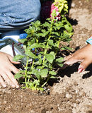 Planting a flower garden Royalty Free Stock Photo