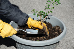 Planting flower in the pot Royalty Free Stock Photo