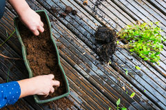 Planting flower saplings Royalty Free Stock Images