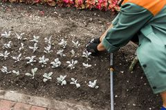 Planting of flower seedlings. In the open ground royalty free stock image