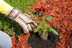 Planting Flowers Royalty Free Stock Photography