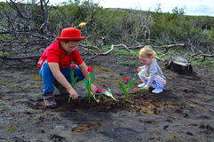 Planting flowers. Children are planting the flowers, red tulips over burned ground after forest fire. Small gardeners stock photo
