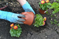 Planting flowers dahlia min. I, hobby, gardener, saucer, flower bed, hands royalty free stock images