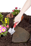 Planting flowers in a flowerbed Royalty Free Stock Image