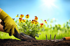 Planting Flowers in a garden. Closeup Stock Images