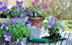 Planting flowers in garden. Flowers on a shovel to planting in garden Royalty Free Stock Image
