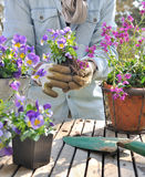 Planting flowers in garden. Planting violas in decorative pots on a garden table Royalty Free Stock Images