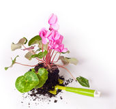Planting flowers. Gardening, planting the pink cyclamen flowers royalty free stock images