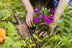 Planting of flowers Royalty Free Stock Image