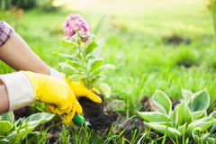 Planting Flowers in pot with dirt or soil. royalty free stock photo