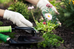 Planting Flowers in pot with dirt or soil. royalty free stock image