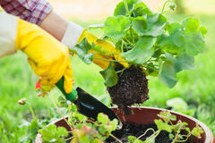 Planting flowers in pot with dirt or soil. Stock Image