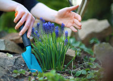 Planting flowers, spring gardening Royalty Free Stock Photo