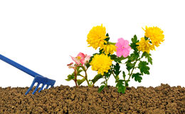 Planting flowers three. Planting flowers in the garden Royalty Free Stock Photos
