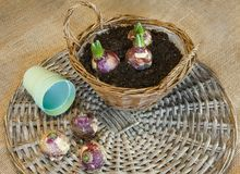 Hyacinth bulbs in a basket for forced flowering. Planting for forced flowering of hyacinth bulbs for gift Royalty Free Stock Image