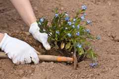 Planting forget-me-not in the garden. Hands in gloves planting forget-me-not in the garden Stock Image