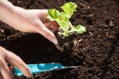 Planting a fresh lettuce seedling Stock Image