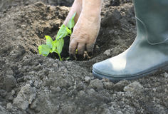 Planting in the garden. Stock Image