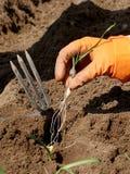 Planting garlic Royalty Free Stock Photo