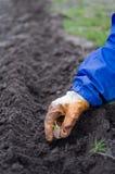 Planting of garlic Stock Image