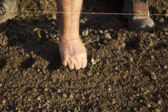 Planting garlic (Allium sativum) royalty free stock images