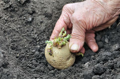 Planting a germinated potato seedling Royalty Free Stock Photography
